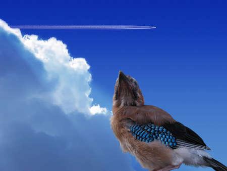 A Eurasian Jay looking up at an airplain