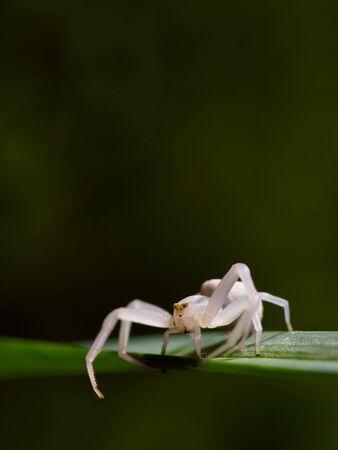 White spider