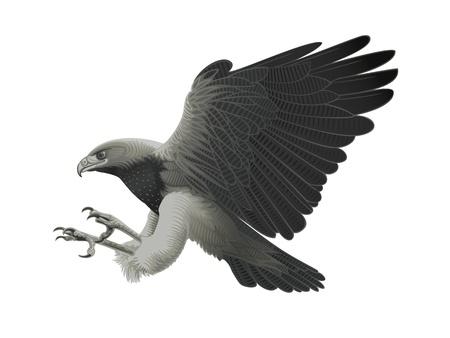 Black chested Eagle buzzard attacking!  Ilustracja