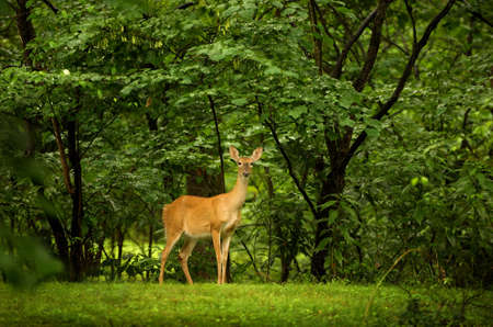 An image of a yound deer against a vibrant green background