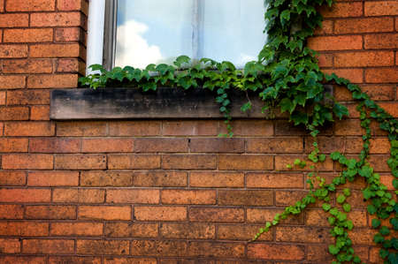 Green ivy climbing a brick wall with closed window. photo