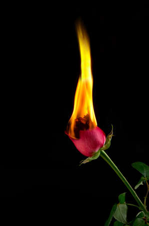 fire flower: Image of a red rose burning and in flames
