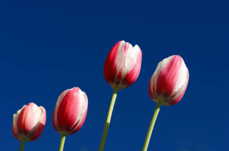 Image of pink and white tulips against deep blue sky photo