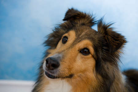 miniature collie: Image of a beautiful Sheltie on bluosh background