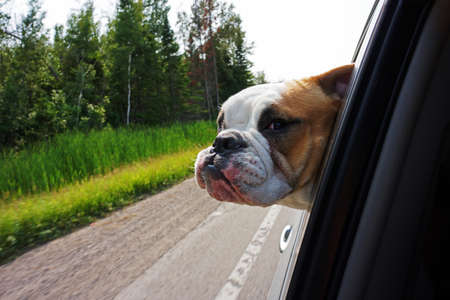 Image of a bulldog hanging head out of car window while driving along