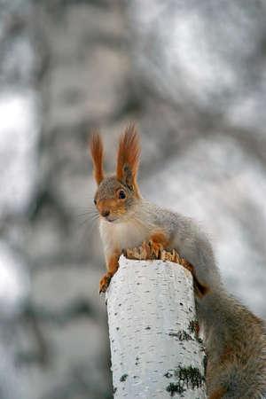 chippy: squirrel sitting on a chippy birch
