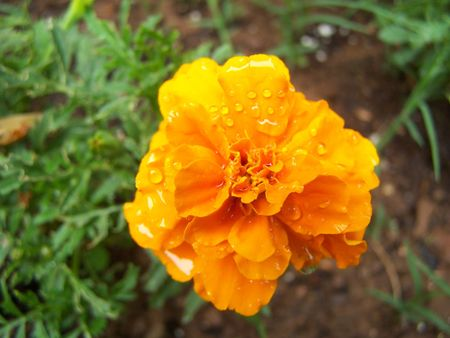 Yellow wet flower