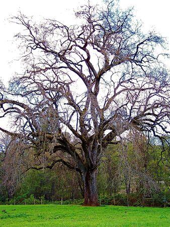 large tree in field
