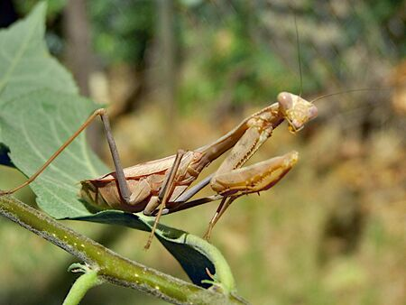 crawly: praying mantis