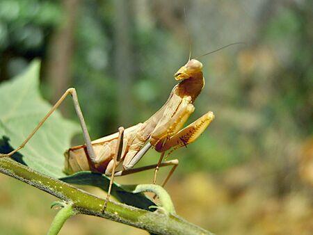 praying mantis Stock Photo - 3528361