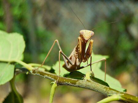 praying mantis Stock Photo - 3528362