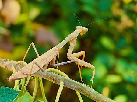 praying mantis Stock Photo - 3528365