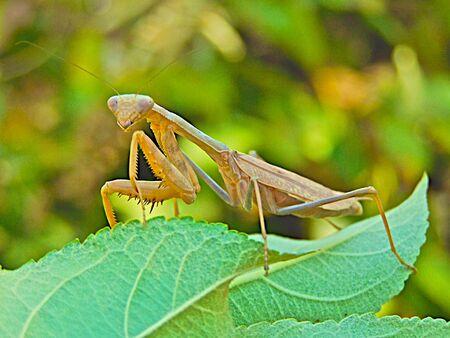 praying mantis Stock Photo - 3528366