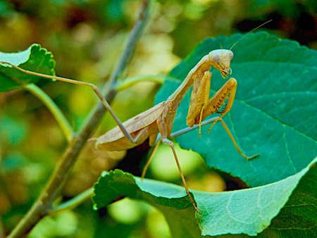 praying mantis Stock Photo - 3528364