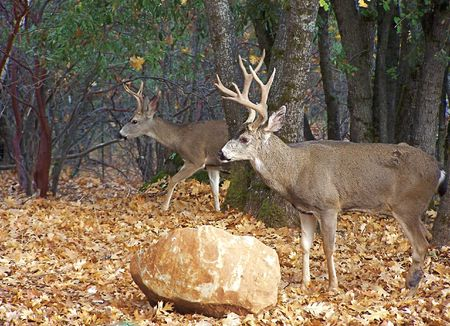whitetail buck: Deer in the woods