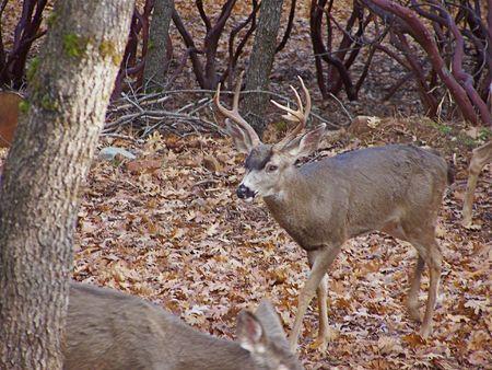 Deer in the woods photo