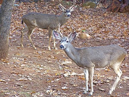 Deer in the woods photo