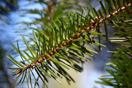 A branch of pine needles