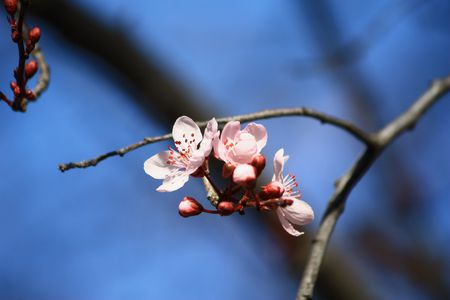 Chinese cherry tree blossom
