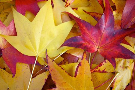 Yellow and red fallen leaves