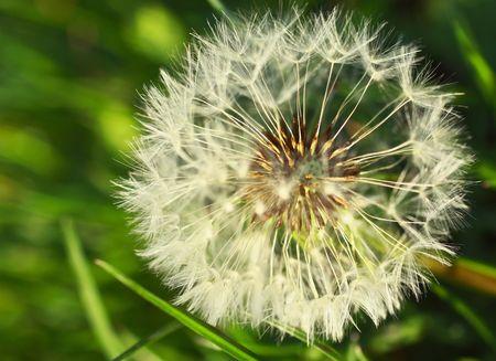 Close-up of dandelion photo
