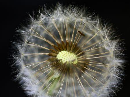 Close-up of dandelion Stock Photo - 7037271