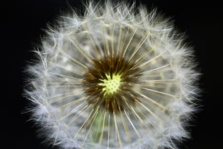 Close-up of dandelion Stock Photo - 7037275
