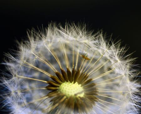 Close-up of dandelion photo