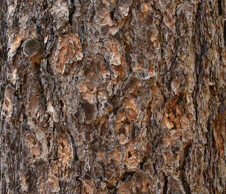 Bark of a pine tree Stock Photo - 8223876
