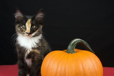 Black Calico Kitten with pumpkin Stock Photo - 15713841