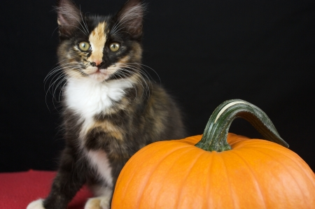 Black Calico Kitten with pumpkin Stock Photo - 15713840