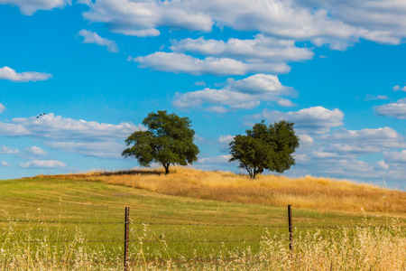 Two Green Oak Trees on Brown and Green Hill With White Clouds and Blue Sky in the Background