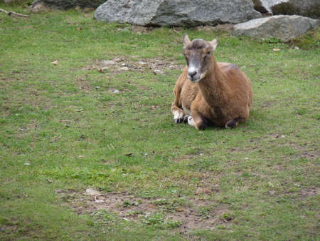 European mouflon (Ovis orientalis musimon).