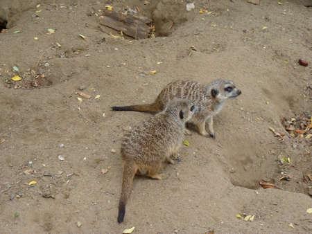 suricate: Meerkat or Suricate (Suricata Suricatta)