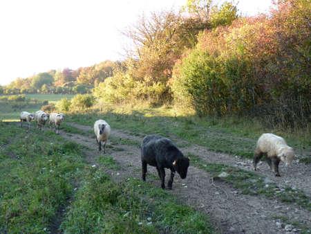 Beautiful grazing flock of sheeps, Beskidy Mountains, Poland