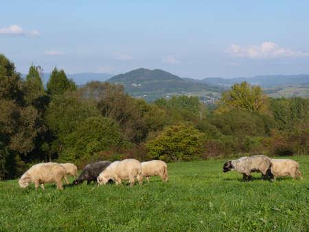 Beautiful flock of sheep grazing at sunset, Beskidy Mountains, Poland