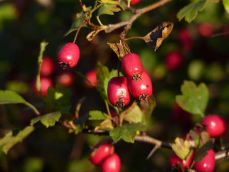 Berries of hawthorn on a branch with green leaves (Crataegus laevigata)