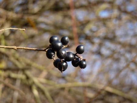Frangula alnus Alder Buckthorn fruit