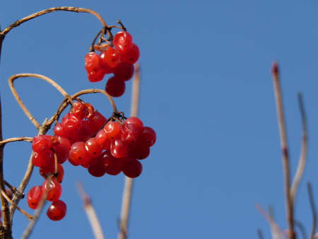 Bunches of red viburnum, red berries, rose Guelder Stock Photo