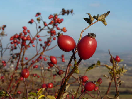 rosa: Wild rose hip (Rosa canina) plant. Red rosehips in nature. Stock Photo