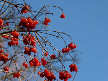 guelder rose berry: Bunches of red viburnum, red berries, rose Guelder Stock Photo