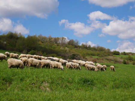 Flock of sheep grazing. Sheeps on mountain meadow