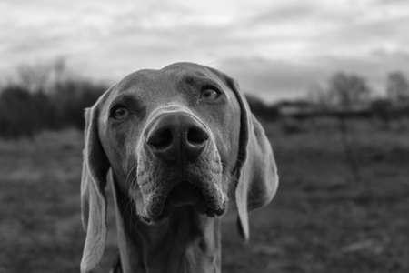 Black and white Weimaraner dog