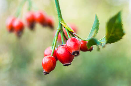 rosales: Bunch of briar berries with leaves Stock Photo