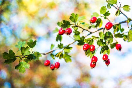 Hawthorn bush on a sunny background