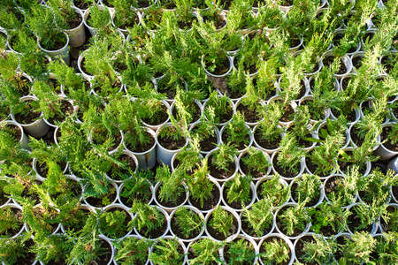 thuja: Thuja seedling in small plastic pots