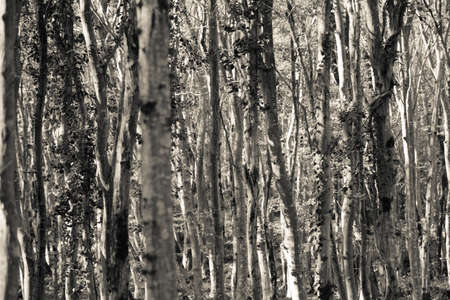 black and white forest: Black and white trees in forest Stock Photo