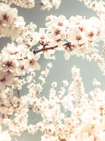 Fruit tree blossoms on a spring day. Pastel tones photo