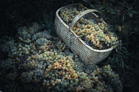harvest basket: White wine grapes in basket after the harvest at the vineyard. Toned picture