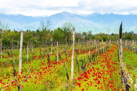 カヘチ地方、グルジア、コーカサスのぶどう畑の明るい赤いポピー。選択と集中